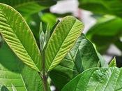Beneficios para salud guayabo manzana