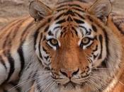 Teoría matemática sobre formación rayas tigre