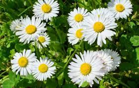 Manzanilla calmante, analgésica y antiinflamatoria
