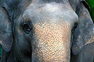 Elefantes que imitan voces humanas
