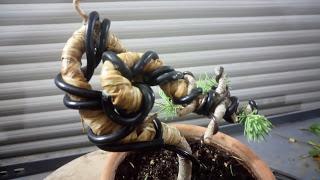 Bonsais y vecinos : 2 plantones de Pino