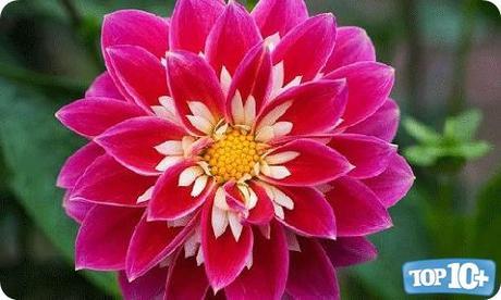 Dahlia-entre-las-10-flores-mas-hermosas-del-mundo
