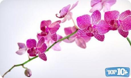 Orquídeas-entre-las-10-flores-mas-hermosas-del-mundo