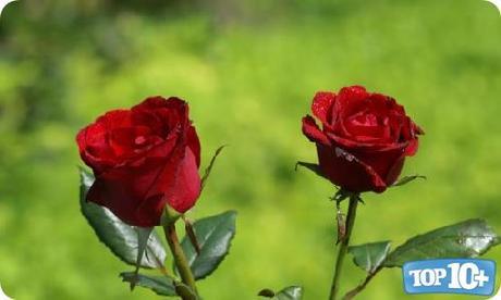 Rosa-entre-las-10-flores-mas-hermosas-del-mundo