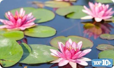 Lirios de Agua-entre-las-10-flores-mas-hermosas-del-mundo