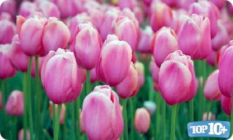 Tulipán-entre-las-10-flores-mas-hermosas-del-mundo