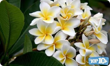 Plumeria-entre-las-10-flores-mas-hermosas-del-mundo