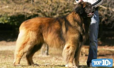 Leonberger-entre-las-razas-de-perros-que-viven-menos-tiempo