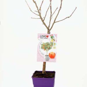 Cuidados de los árboles frutales en maceta