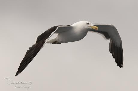 Gaviota cocinera (Kelp Gull) Larus dominicanus