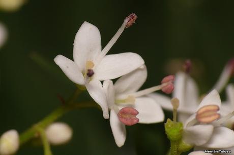 Ligustrina (Ligustrum sinense)
