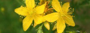 Ayuda natural del sueño que lucha la depresión: hierba de san Juan