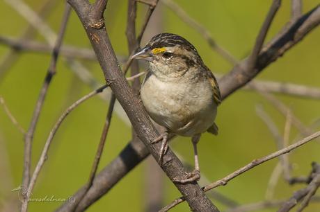 Cachilo ceja amarilla (Grassland Sparrow) Ammodramus humeralis