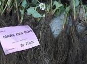 Cómo plantar fresas raíz desnuda. Tutorial.