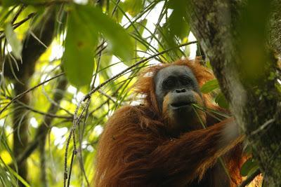 Nueva especie de orangután ¿Sí o no?