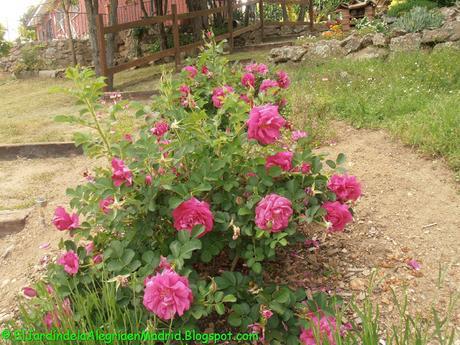 Plantación de rosales en ubicaciones problemáticas
