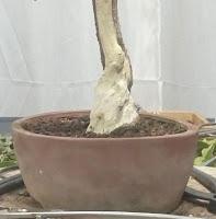 Granado Nejikan 2017