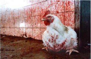 Entrevista a un matarife de pollos (ALA, invierno 2002/2003)