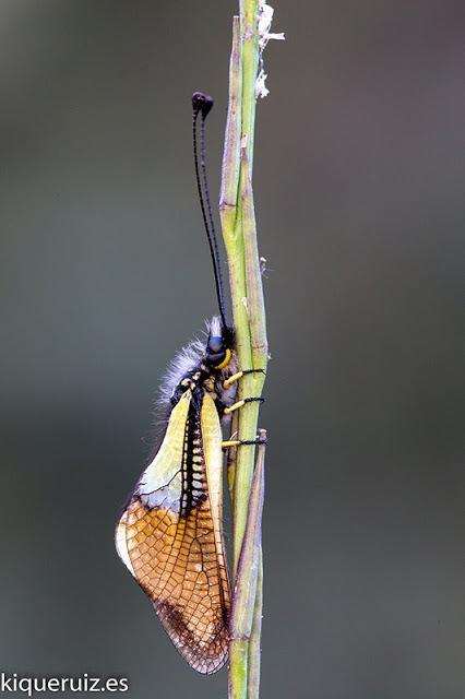 La libélula mariposa