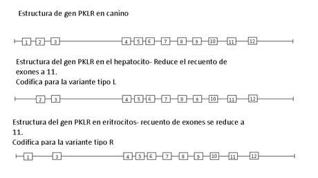 Monografías de alumnos: DEFICIENCIA DE PIRUVATO QUINASA (PK) en caninos