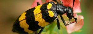 Escarabajo blister y la estafa de cáncer