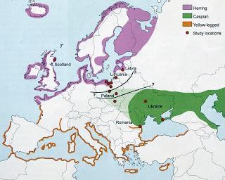 Una gaviota cáspica de Alemania