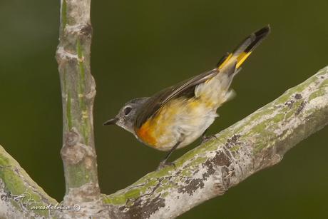 Arañero Boreal / American Redstart - Setophaga ruticilla (Linnaeus, 1758)