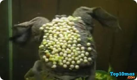 rana-de-surinam-entre-top-10-ranas-mas-raras-del-mundo
