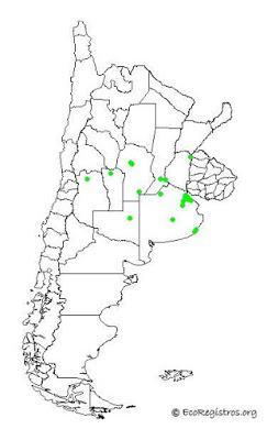 Estornino crestado (Acridotheres cristatellus)