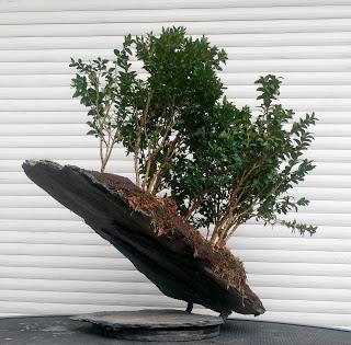 Bosque de Buxus Sempervirens: mantenimiento