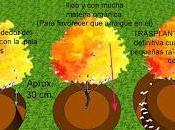 Cómo trasplantar árbol arbusto grande consolidado zanja poda raíces