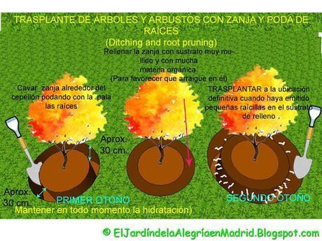 Cómo trasplantar un árbol o arbusto grande y consolidado con zanja y poda de raíces