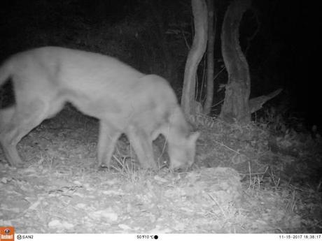 Registran presencia de Puma en la Sierra de Álvarez