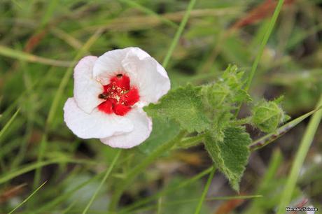 Pavonia (Pavonia cymbalaria)
