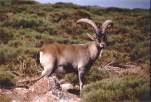 Cabra montesa. Capra pyrenaica. Spanish Ibex.