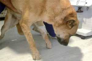 garrapatas en perro tratamiento