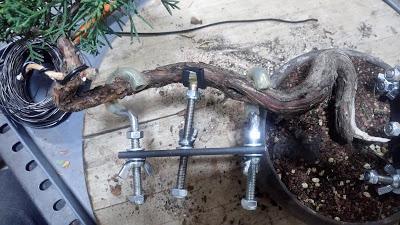 Junipero chinensis semicascada : trabajando el tronco