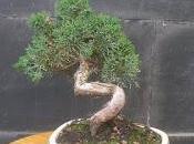Junipero chinensis semicascada trabajando tronco