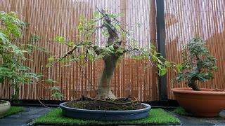 Intercambio de bonsais :Nº 113 Olmo comun