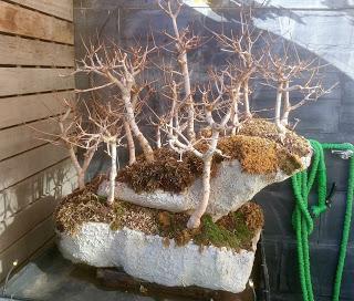 Diorama con Acers Campestres : 20 mantenimiento