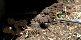 Un estudio revela que las arañas macho buscan reproducirse con hembras jóvenes para no ser canibalizados