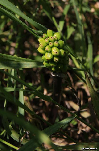 (Arisaema triphyllum)