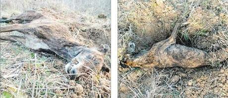 Los animales eran sacrificados tras la temporada  de caza