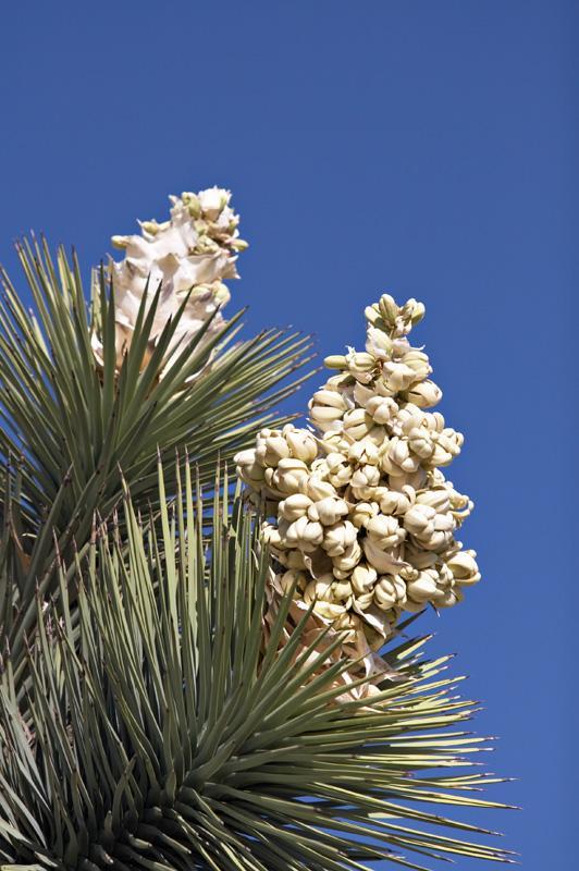 http://www.ubcbotanicalgarden.org/potd/yucca_brevifolia2.jpg