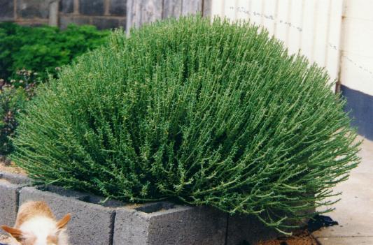 http://www.succulents.co.za/euphorbia/pix/euphorbia_mauritanica.jpg