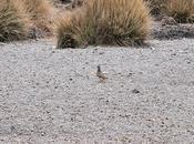 PORTFOLIO: Thinocorus orbignyanus, Pucu pucu Thinocoridae, Parque Nacional Sajama, Bolivia