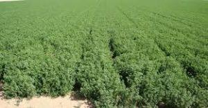 La buena suerte de soñar con alfalfa.