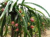 Planta Pitahaya Beneficios