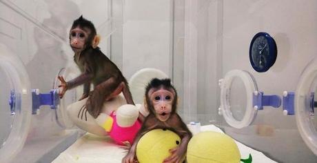 Clonan dos primates siguiendo el modelo Dolly