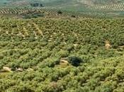 Regreso olivar